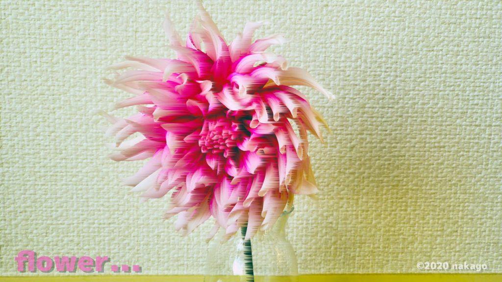 素材用_ダリアの花_20200515_134033
